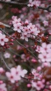 Preview wallpaper sakura, flowers, pink, branches, plant