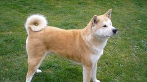 Preview wallpaper akita inu, dog, stand, grass, loyalty