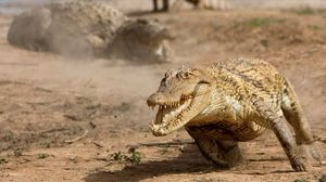Preview wallpaper alligator, run, reptile, dust