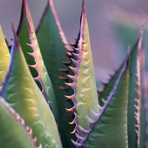 Preview wallpaper aloe, plant, thorns, macro