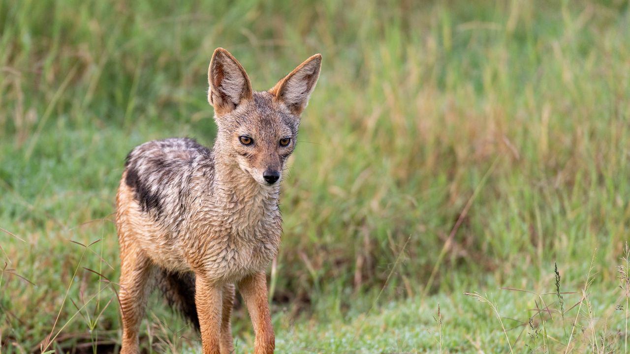 【壁纸桌面】墙纸美国狐狸,狐狸,捕食者,动物,一瞥高清壁纸免费下载