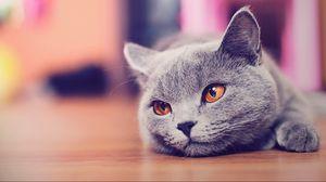 Preview wallpaper animals, cat, lies, look