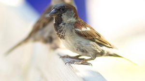 Preview wallpaper animals, sparrow, bird, feathers, beak, background, blur