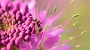 Preview wallpaper ant, insect, flower, petals, macro