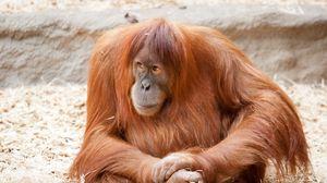 Preview wallpaper ape, fur, big, sit