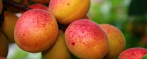 Preview wallpaper apricot, branches, fruit, ripe