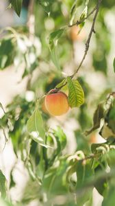 Preview wallpaper apricot, fruit, ripe, yellow, branches