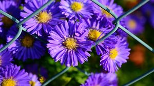 Preview wallpaper aster, violet, flowers