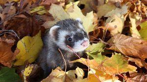 Preview wallpaper autumn, muzzle, leaves, ferret
