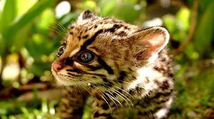 Preview wallpaper baby, cub, kitten, cheetah