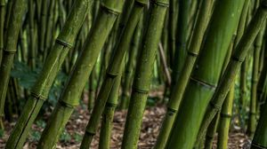 Preview wallpaper bamboo, grove, plants, green