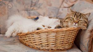 Preview wallpaper basket, cats, lie face
