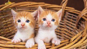 Preview wallpaper basket, kittens, pair