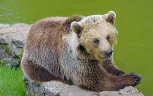 Preview wallpaper bear, animal, predator