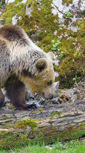 Preview wallpaper bear, animal, wildlife