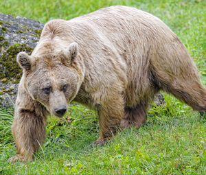 Preview wallpaper bear, animal, wildlife, predator