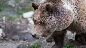 Preview wallpaper bear, brown, fur, grass
