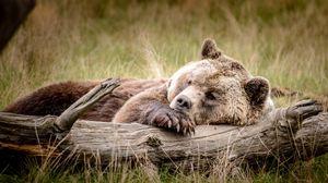 Preview wallpaper bear, brown, timber, recreation