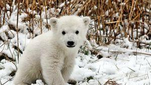 Preview wallpaper bear, polar bear, cub, snow, grass, fear
