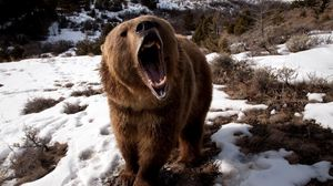 Preview wallpaper bear, teeth, angry, snow, brown, winter
