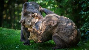 Preview wallpaper bears, couple, fight, grass