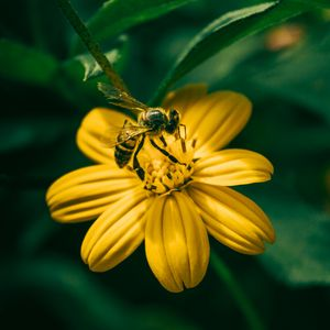 Preview wallpaper bee, flower, pollination, yellow, blur