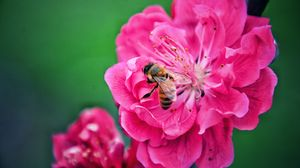 Preview wallpaper bee, flower, pollination, pink, macro