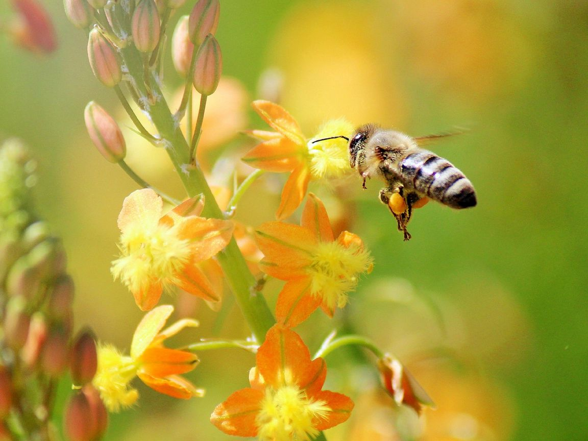 1152x864 Wallpaper bee, flying, grass, plant