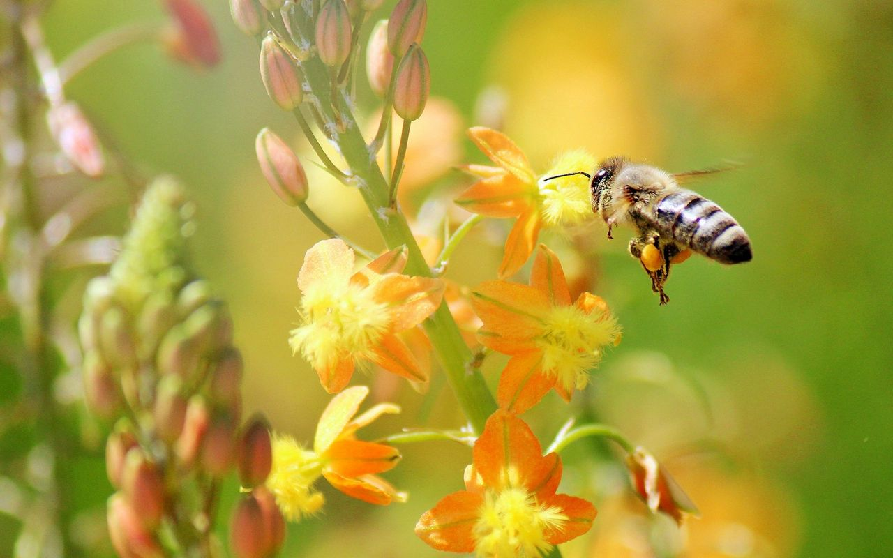 1280x800 Wallpaper bee, flying, grass, plant