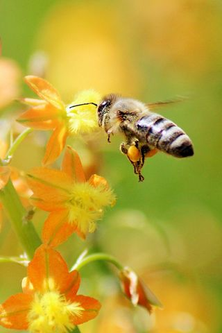 320x480 Wallpaper bee, flying, grass, plant