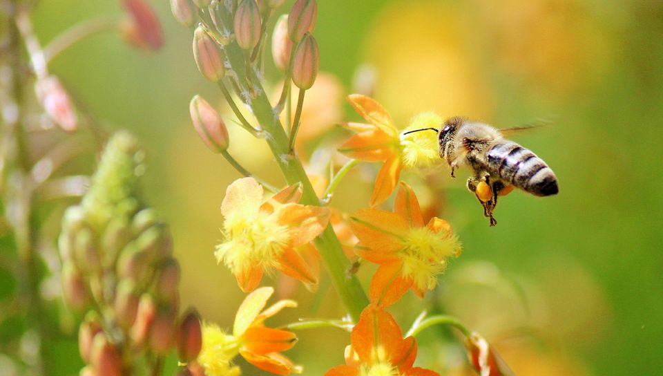 960x544 Wallpaper bee, flying, grass, plant