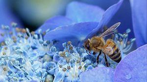 Preview wallpaper bee, hydrangea, flower, pollination