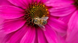 Preview wallpaper bee, insect, flower, petals, pink, macro