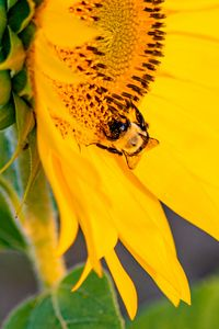 Preview wallpaper bee, insect, sunflower, petals, macro, yellow