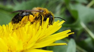 Preview wallpaper bee, pollen, nectar, flower, pollination