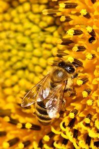 Preview wallpaper bee, sunflower, pollen, flower, macro