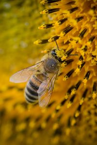 Preview wallpaper bee, sunflower, pollination
