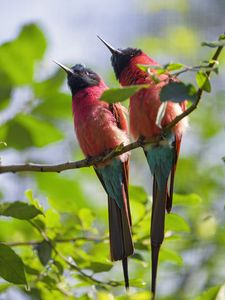 Preview wallpaper bee-eaters, birds, branch, wildlife