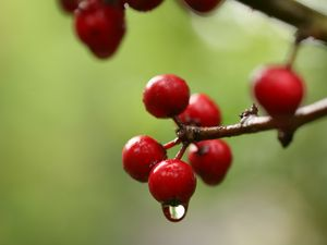 Preview wallpaper berries, branch, drop, macro, blur