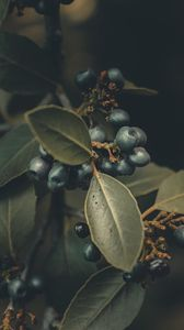 Preview wallpaper berries, branches, leaves, macro