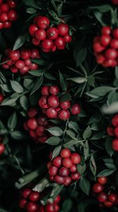 Preview wallpaper berries, bunches, red, plant