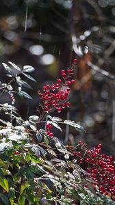 Preview wallpaper berries, leaves, branches, drops, macro