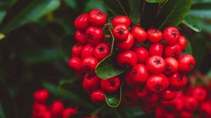 Preview wallpaper berries, red, bunches, macro, plant
