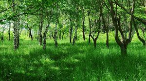 Preview wallpaper birches, young, summer, grass, green, avenue