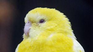 Preview wallpaper bird, parrot, yellow, bright