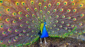 Preview wallpaper bird, peacock, beauty