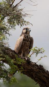 Preview wallpaper falcon, bird, watching, tree, wildlife