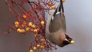 Preview wallpaper birds, branch, berries, food