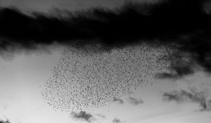 Preview wallpaper birds, flock, sky, clouds, black and white