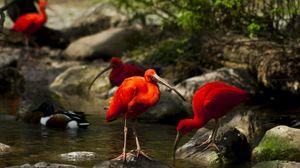 Preview wallpaper birds, ibis, stream, stones, moss, trees, water, nature
